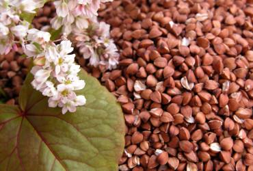 Семена гречихи FLORIDA