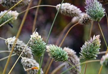 Семена канареечника