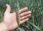 Семена озимой пшеницы CANMOR