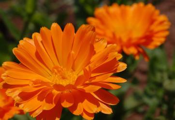 Семена календулы лекарственной