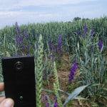 Величина колоса озимой пшеницы