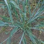 Колос озимой пшеницы из Канады