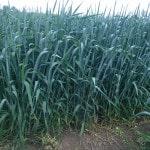Канадская озимая пшеница
