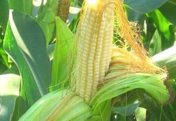 Семена канадской кукурузы