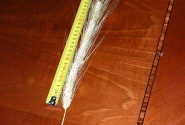 Семена яровой пшеницы MISSOURI