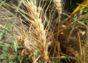Пшеница озимая сорт TEXAS